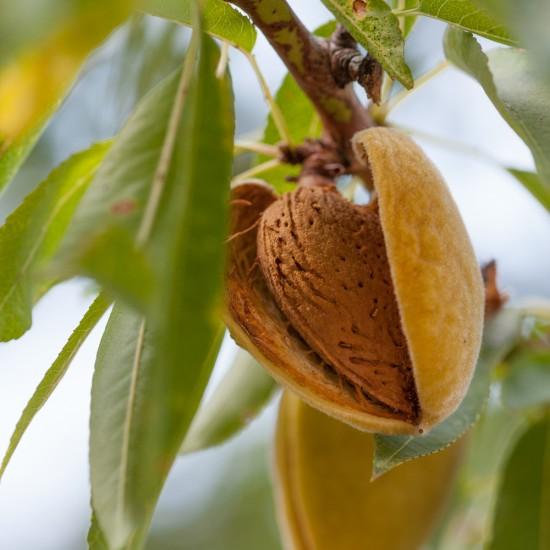 Almond Sweet 250ml