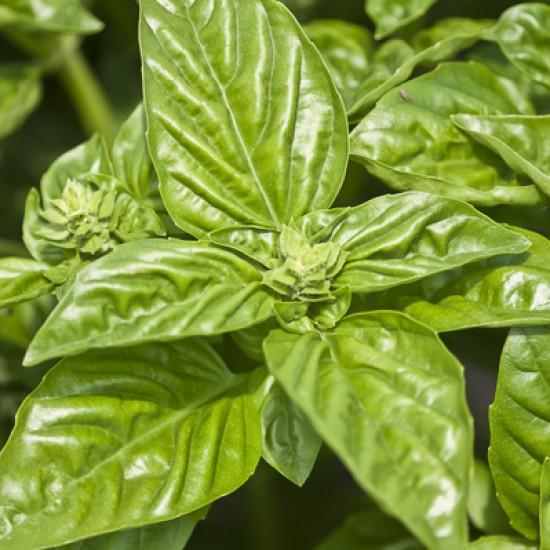 Basil organic 5ml