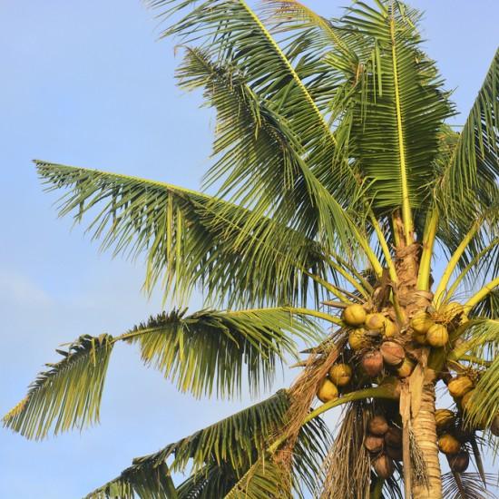 Coconut Light 50ml