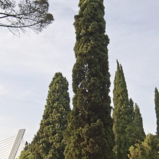 Cypress organic 5ml