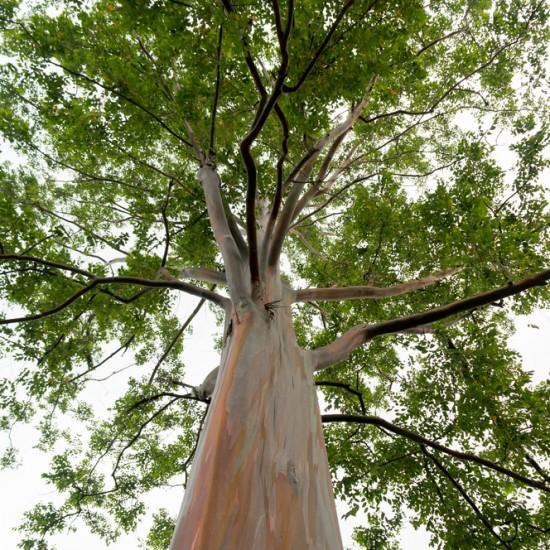 Eucalyptus organic 10ml