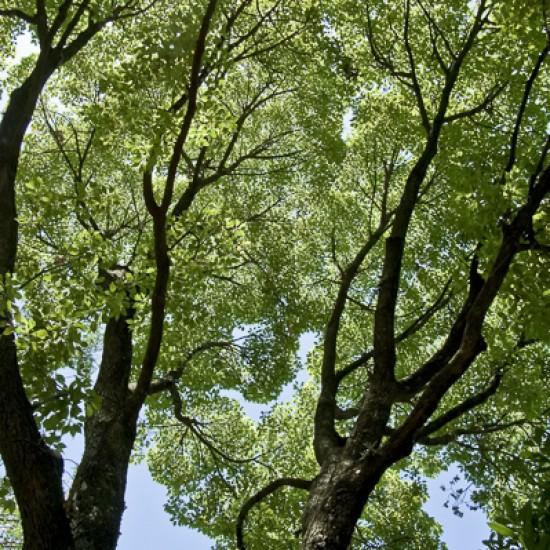 Ho Wood 10ml