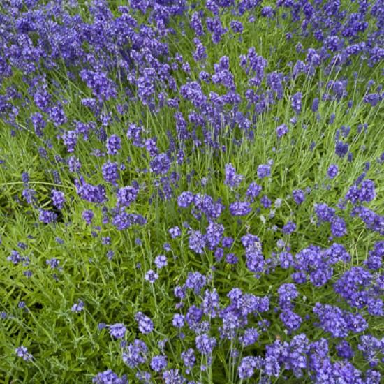 Lavender 50ml