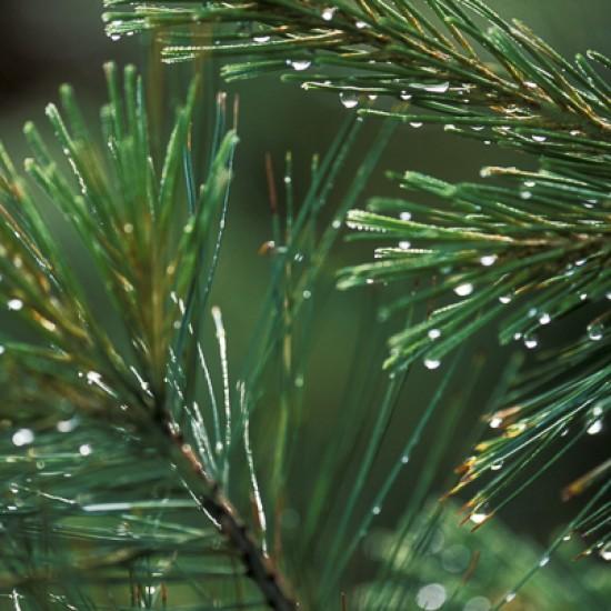 Pine organic 5ml