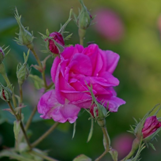 Rose in Almond 50ml