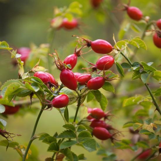 Rosehip Seed CO2 organic 20ml