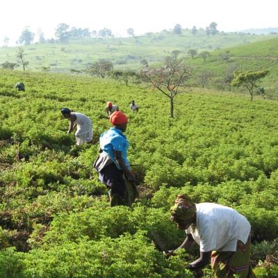 Geranium in Congo